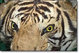 虎 剥製 皮